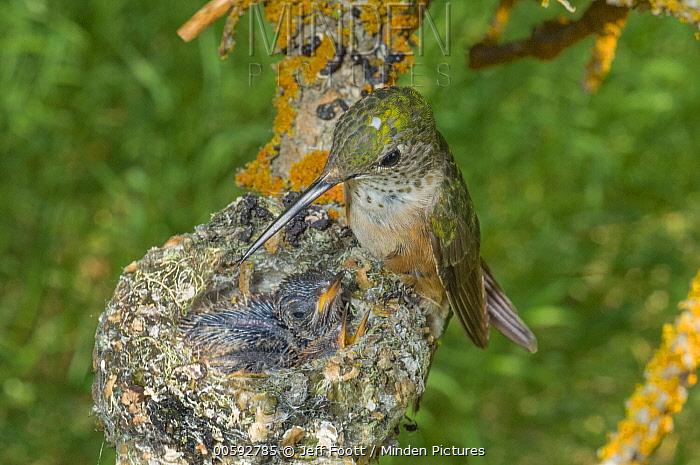 Broad-tailed Hummingbird (Selasphorus platycercus) mother at nest with chicks, Grand Teton National Park, Wyoming