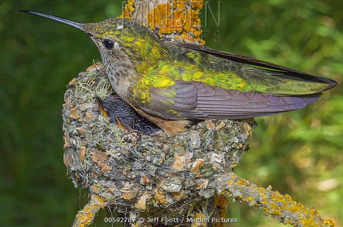 Broad-tailed Hummingbird (Selasphorus platycercus) parent brooding chick, Grand Teton National Park, Wyoming