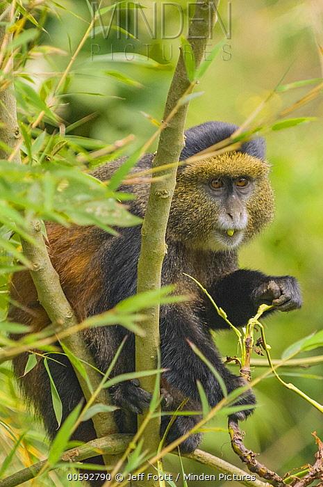 Golden Monkey (Cercopithecus kandti) feeding, Parc National des Volcans, Rwanda