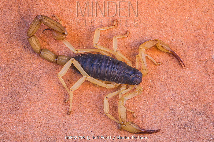 Giant Desert Hairy Scorpion (Hadrurus arizonensis), Llewellyn Gulch, Glen Canyon National Recreation Area, Arizona