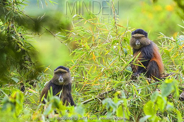 Golden Monkey (Cercopithecus kandti) pair, Parc National des Volcans, Rwanda