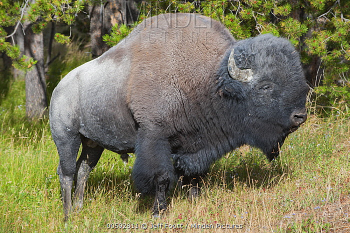 American Bison (Bison bison) bull covered in dust, Yellowstone National Park, Wyoming