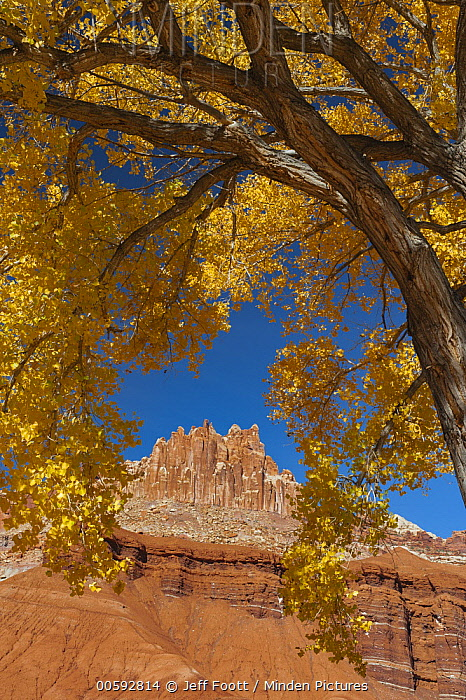 Cottonwood (Populus sp) tree and rock formation in autumn, The Castle, Capitol Reef National Park, Utah