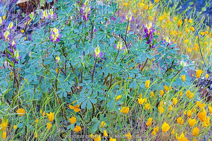 Harlequin Lupine (Lupinus stiversii) and California Poppy (Eschscholzia californica) flowers, Yosemite National Park, California