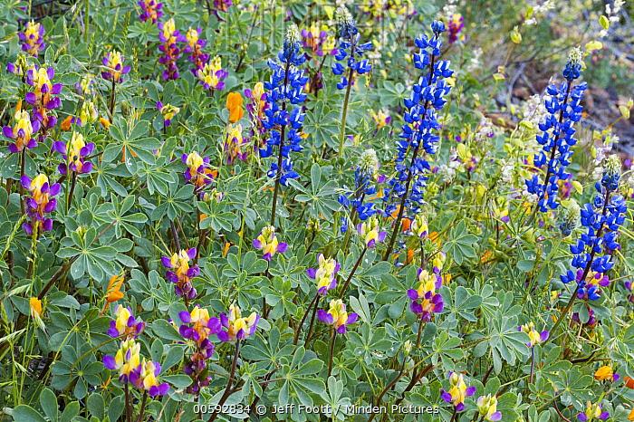 Lupine (Lupinus sp) and Harlequin Lupine (Lupinus stiversii) flowers, Yosemite National Park, California