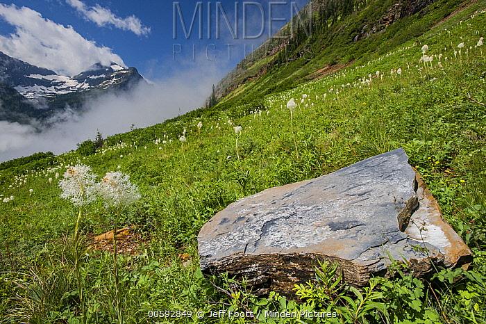 Bear Grass (Xerophyllum tenax) flowering, Glacier National Park, Montana