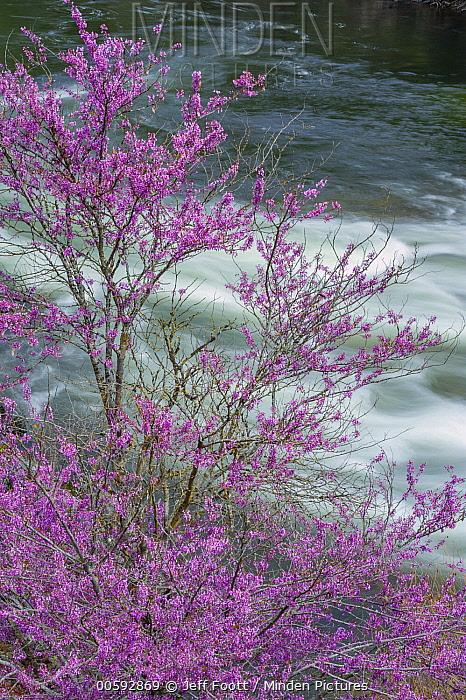 Western Redbud (Cercis occidentalis) flowering, Merced River, Yosemite National Park, California