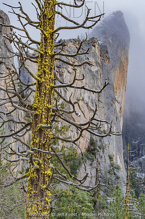 Incense Cedar (Calocedrus decurrens) tree, Leaning Tower, Yosemite National Park, California
