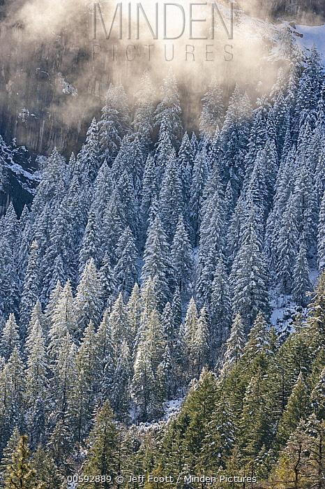 Coniferous trees in winter, Yosemite Valley, Yosemite National Park, California