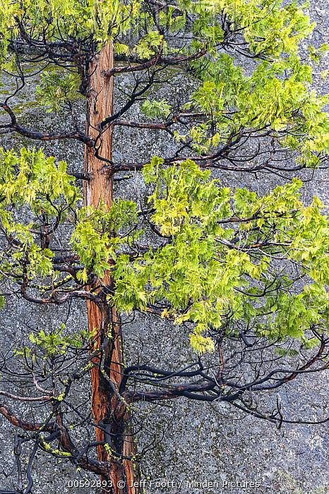 Incense Cedar (Calocedrus decurrens) tree, Yosemite National Park, California