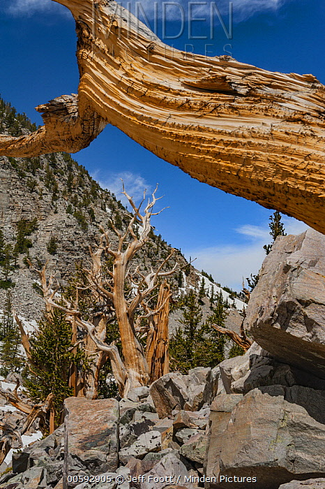 Great Basin Bristlecone Pine (Pinus longaeva) trees, Great Basin National Park, Nevada