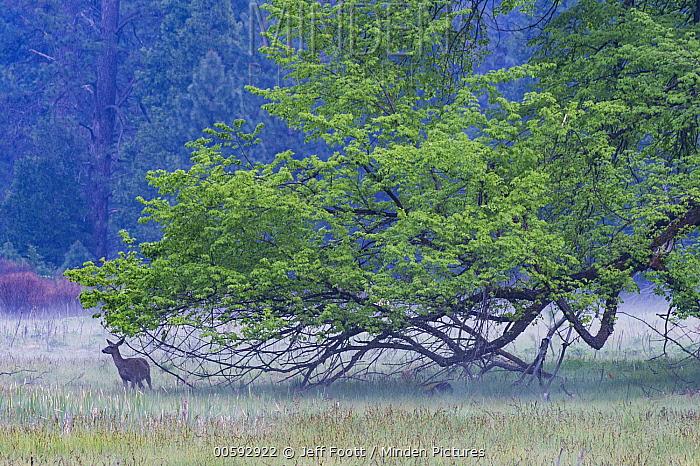 Mule Deer (Odocoileus hemionus) in meadow, Yosemite National Park, California