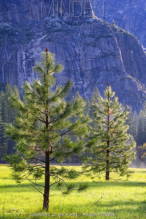 Jeffrey Pine (Pinus jeffreyi) young trees, Yosemite National Park, California