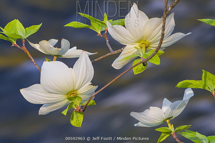 Mountain Dogwood (Cornus nuttallii) flowering, Merced River, Yosemite National Park, California
