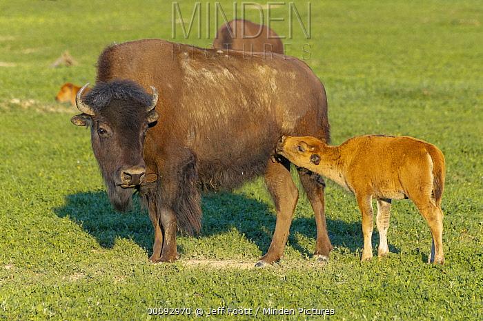 American Bison (Bison bison) mother nursing calf, Theodore Roosevelt National Park, North Dakota