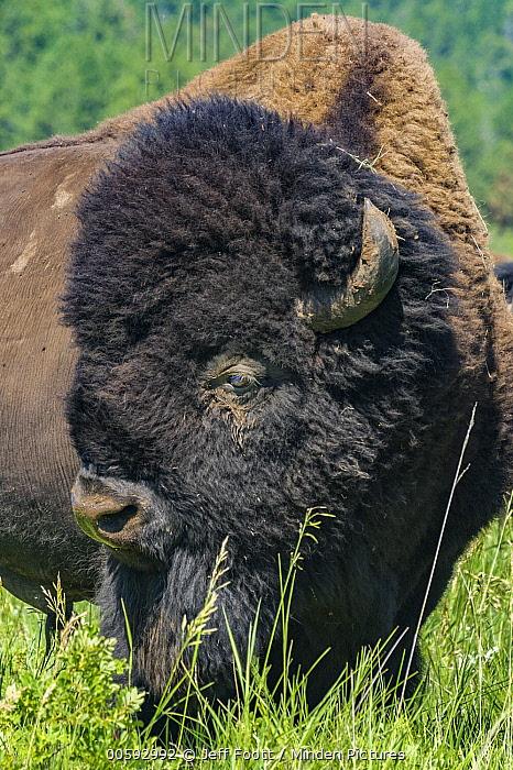 American Bison (Bison bison) bull, Wind Cave National Park, South Dakota