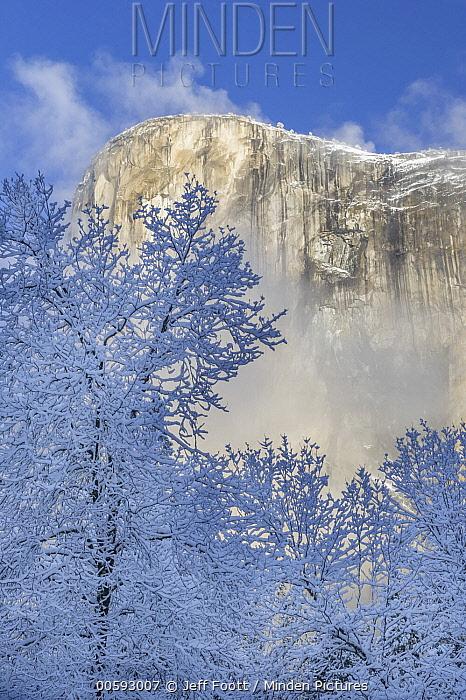 California Black Oak (Quercus kelloggii) trees in winter, Yosemite National Park, California