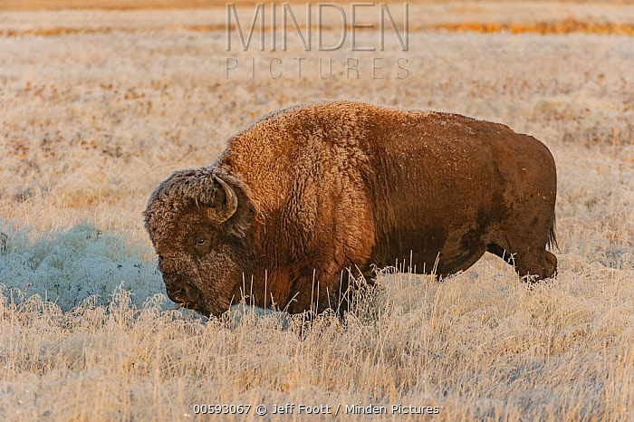 American Bison (Bison bison) in frost-covered meadow, Yellowstone National Park, Wyoming