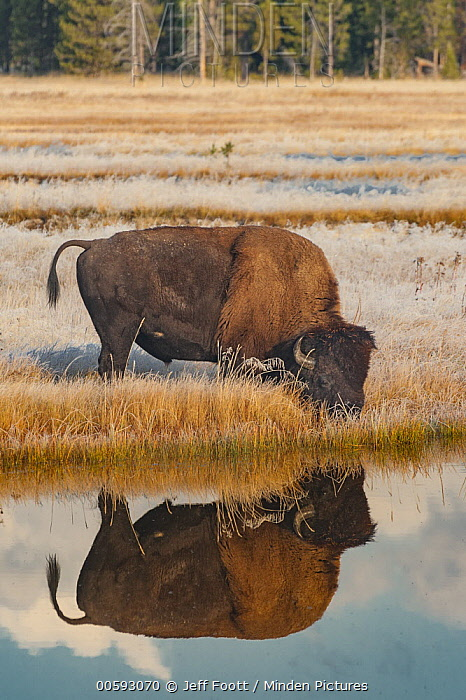 American Bison (Bison bison) drinking in frost-covered meadow, Yellowstone National Park, Wyoming