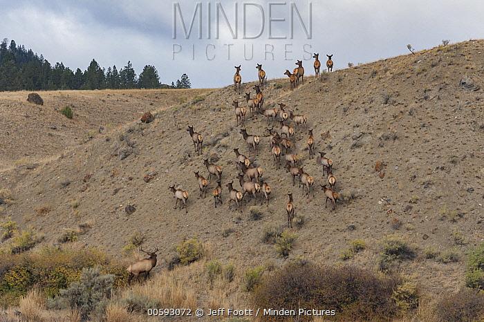 Elk (Cervus elaphus) herd, Yellowstone National Park, Wyoming