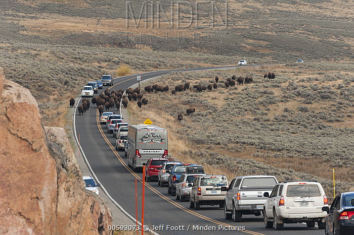 American Bison (Bison bison) herd being overcrowded by tourists, Yellowstone National Park, Wyoming