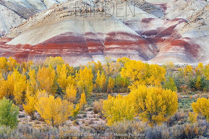 Fremont Cottonwood (Populus fremontii) trees in autumn, Bentonite Hills, Capitol Reef National Park, Utah
