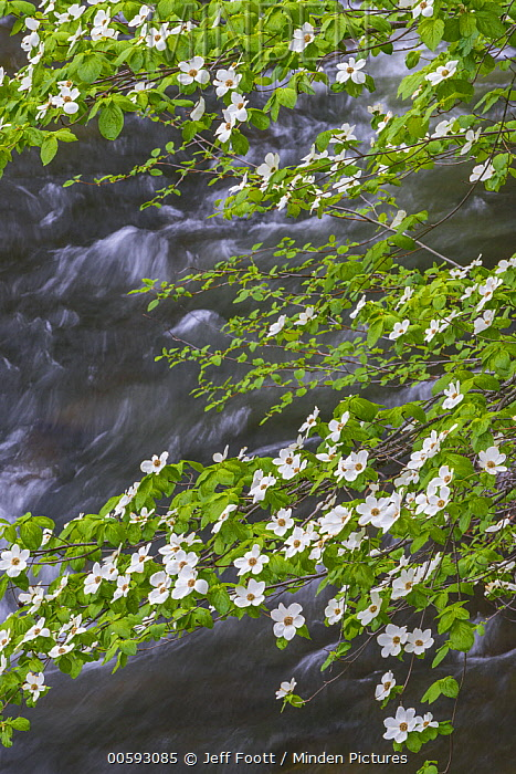 Mountain Dogwood (Cornus nuttallii) flowering, Merced River, Yosemite National Park, California