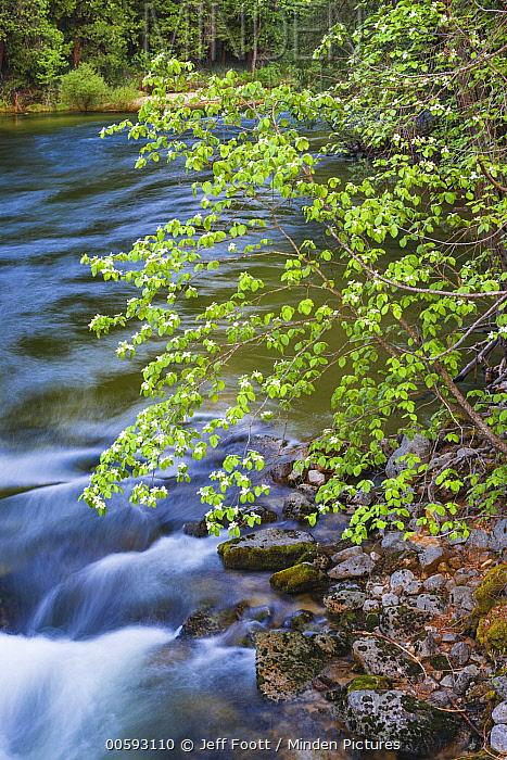 Mountain Dogwood (Cornus nuttallii), Merced River, Yosemite National Park, California