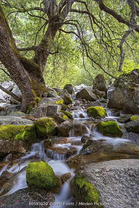 California Black Oak (Quercus kelloggii) tree and creek, Yosemite National Park, California