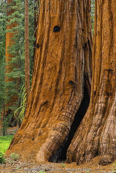 Giant Sequoia (Sequoiadendron giganteum) trees, Mariposa Grove, Yosemite National Park, California