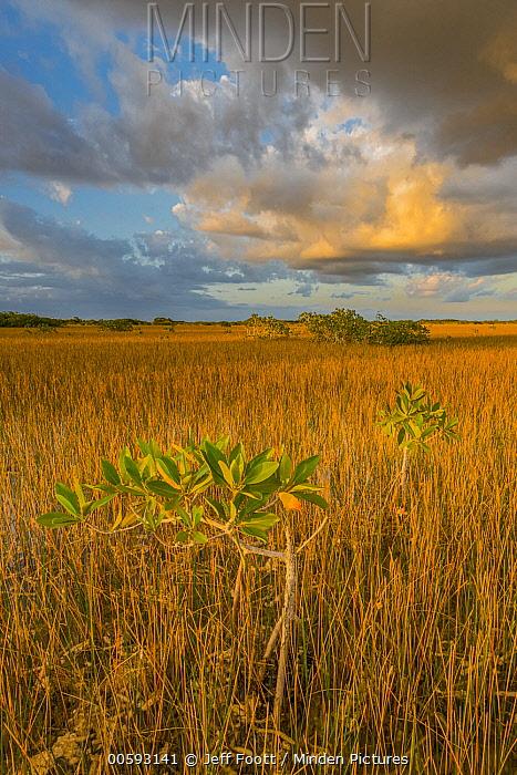 Red Mangrove (Rhizophora mangle) and Sawgrass (Cladium sp), Everglades National Park, Florida