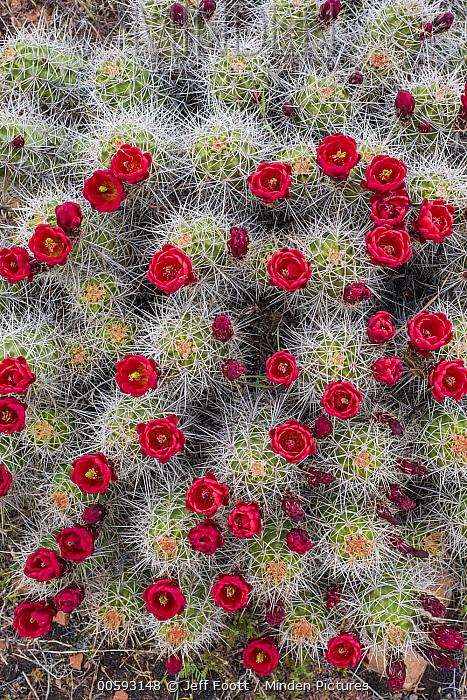 Claret Cup Cactus (Echinocereus triglochidiatus) flowering, Arches National Park, Utah