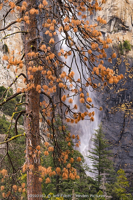 Ponderosa Pine (Pinus ponderosa) dead tree killed by Mountain Pine Beetle (Dendroctonus ponderosae), Bridal Veil Falls, Yosemite National Park, California