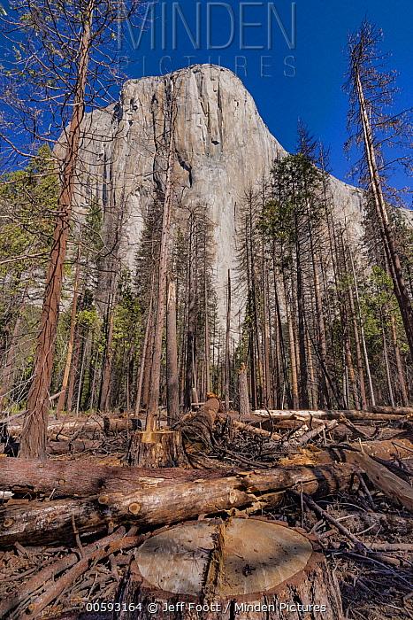 Ponderosa Pine (Pinus ponderosa) dead trees killed by Mountain Pine Beetle (Dendroctonus ponderosae), Yosemite National Park, California