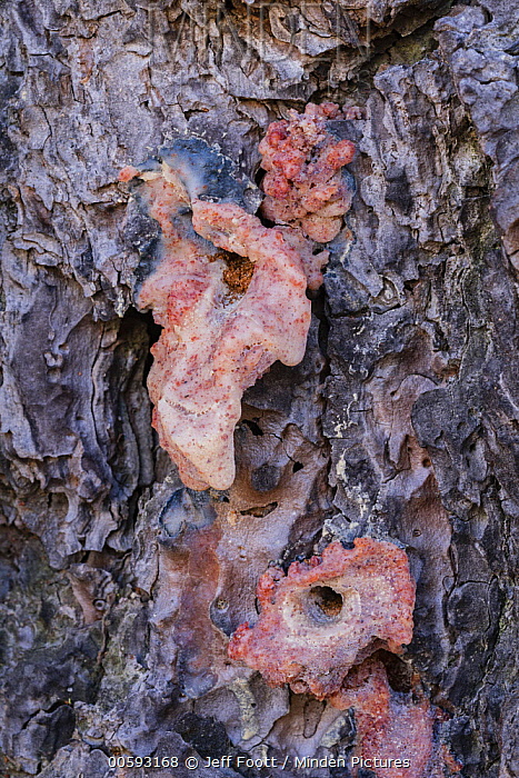 Ponderosa Pine (Pinus ponderosa) dead tree, with pitch tube, killed by Mountain Pine Beetle (Dendroctonus ponderosae), Yosemite National Park, California