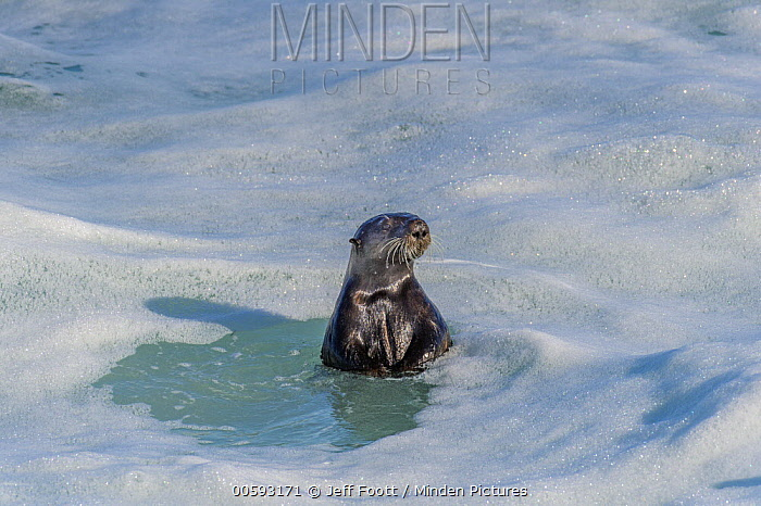 Sea Otter (Enhydra lutris), Monterey Bay, California