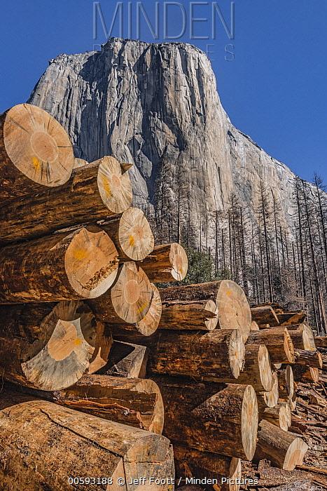 Ponderosa Pine (Pinus ponderosa) dead trees killed by Mountain Pine Beetle (Dendroctonus ponderosae), El Capitan, Yosemite National Park, California
