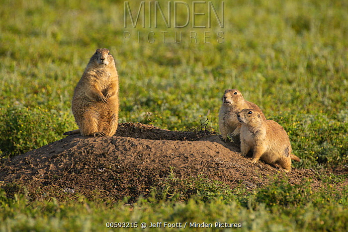 Black-tailed Prairie Dog (Cynomys ludovicianus) mother and young, Wind Cave National Park, South Dakota