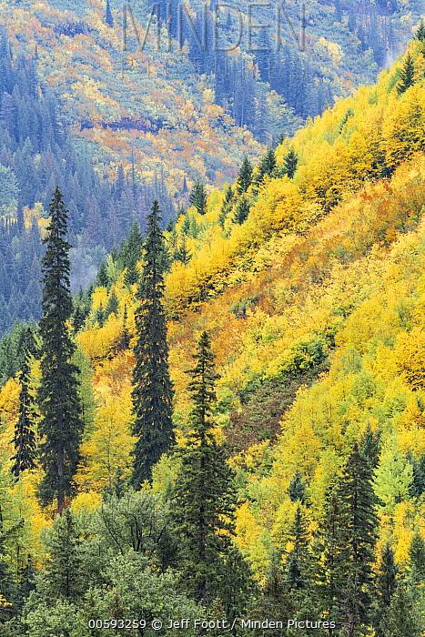 Deciduous trees in autumn, Glacier National Park, Montana