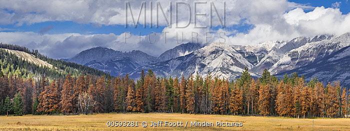Mountain Pine Beetle (Dendroctonus ponderosae) killed trees, Jasper National Park, Alberta, Canada