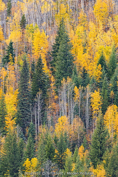 Mixed coniferous and deciduous forest in autumn, Wells Gray Provincial Park, British Columbia, Canada