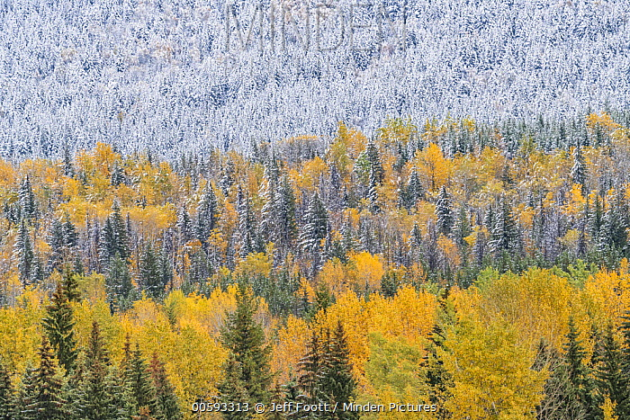 Mixed coniferous and deciduous forest after snowfall in autumn, Wells Gray Provincial Park, British Columbia, Canada