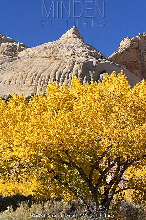 Fremont Cottonwood (Populus fremontii) trees in autumn, Navajo Dome, Capitol Reef National Park, Utah