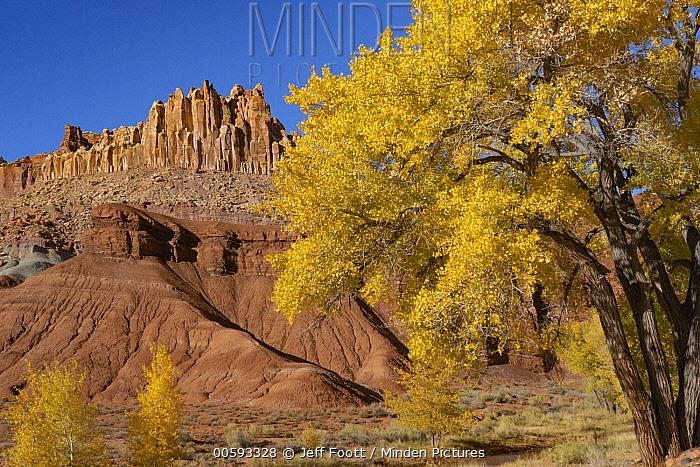 Fremont Cottonwood (Populus fremontii) trees and rock formation, The Castle, Capitol Reef National Park, Utah