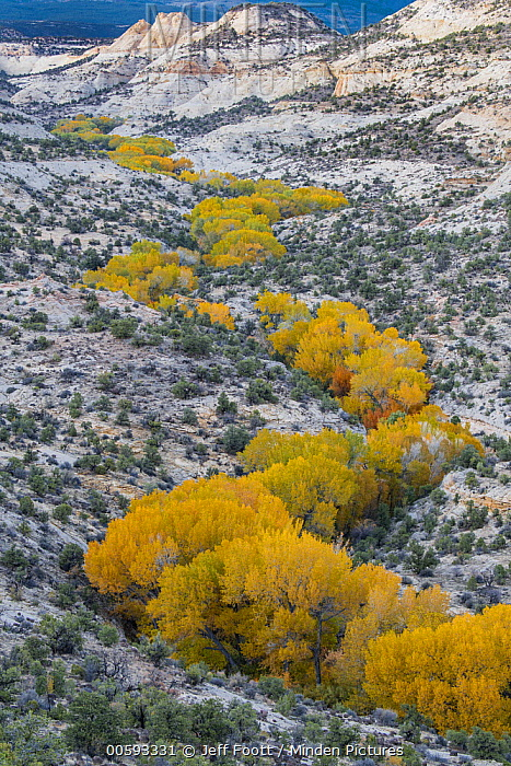 Fremont Cottonwood (Populus fremontii) trees in riverine dip in autumn, Deer Creek Canyon, Grand Staircase-Escalante National Monument, Utah