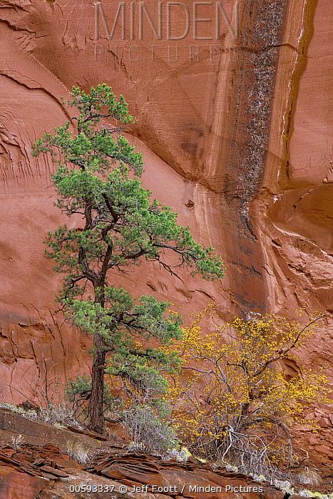 Ponderosa Pine (Pinus ponderosa) tree and cliff, Grand Staircase-Escalante National Monument, Utah