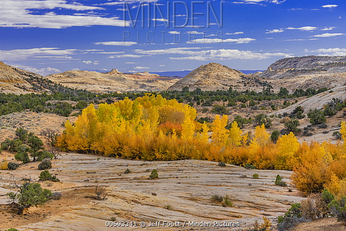 Cottonwood (Populus sp) trees in autumn, Grand Staircase-Escalante National Monument, Utah