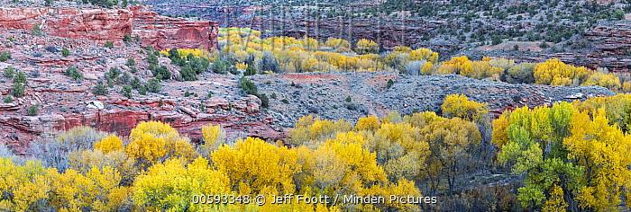 Fremont Cottonwood (Populus fremontii) trees in autumn, Grand Staircase-Escalante National Monument, Utah