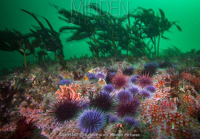 Purple Sea Urchin (Strongylocentrotus purpuratus) group creating urchin barren by feeding on kelp, Carmel, California