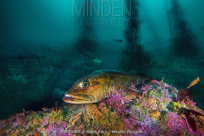 Lingcod (Ophiodon elongatus), Monterey, California